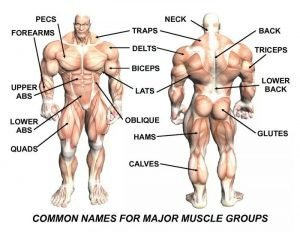 Image of muscle groups